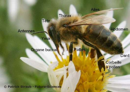 Anatomie d'une abeille. © Reproduction et utilisation interdites