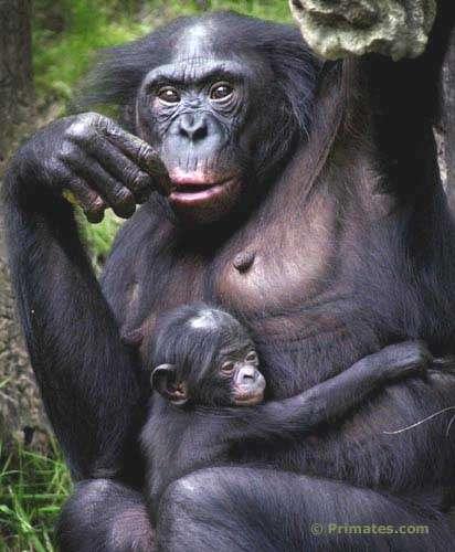 Jeune bonobo et sa mère