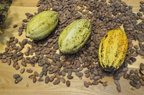 Pour passer de la cabosse au chocolat, les fèves de cacao subissent une transformation qui peut altérer leurs bienfaits pour la santé en faveur du goût. Des chercheurs proposent d'améliorer ce procédé pour ne plus sacrifier les uns au profit de l'autre. © PxHere