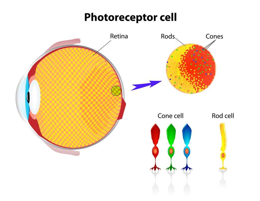 Un schéma simplifié des cellules photoréceptrices de notre rétine : les cônes et les bâtonnets © designua, Adobe Stock