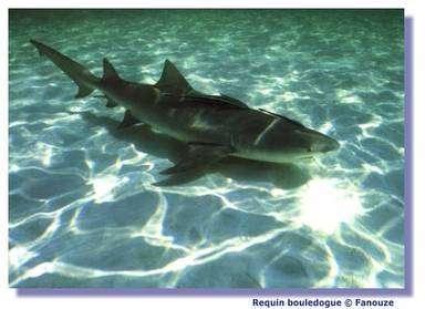 Le requin possède une sorte de sonar. © Fanouze