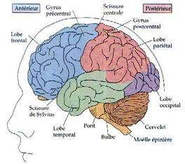 Les deux hémisphères cérébraux. © DR