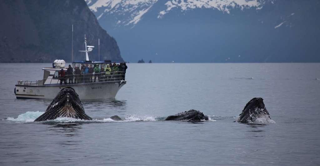 La baleine à bosse est tout particulièrement appréciée des touristes. Curieuse, elle s'approche volontiers des bateaux. Elle semble de plus beaucoup aimer sauter hors de l'eau. © skeeze, Pixabay, CC0 Creative Commons