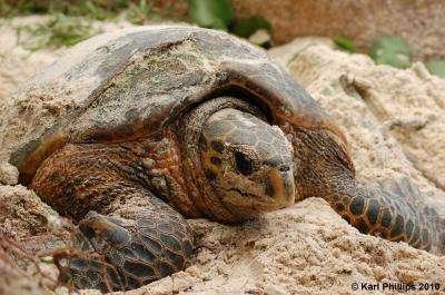 Une tortue imbriquée s'enfouit dans le sable de l'île Cousin, aux Seychelles, pour pondre. Elle ne s'accouple qu'une fois par saison et est monogame. Capable de garder le sperme durant 75 jours, elle prend le temps de constituer différents nids et pond dans chacun. Toutes les progénitures ont le même père. © Karl Phillips