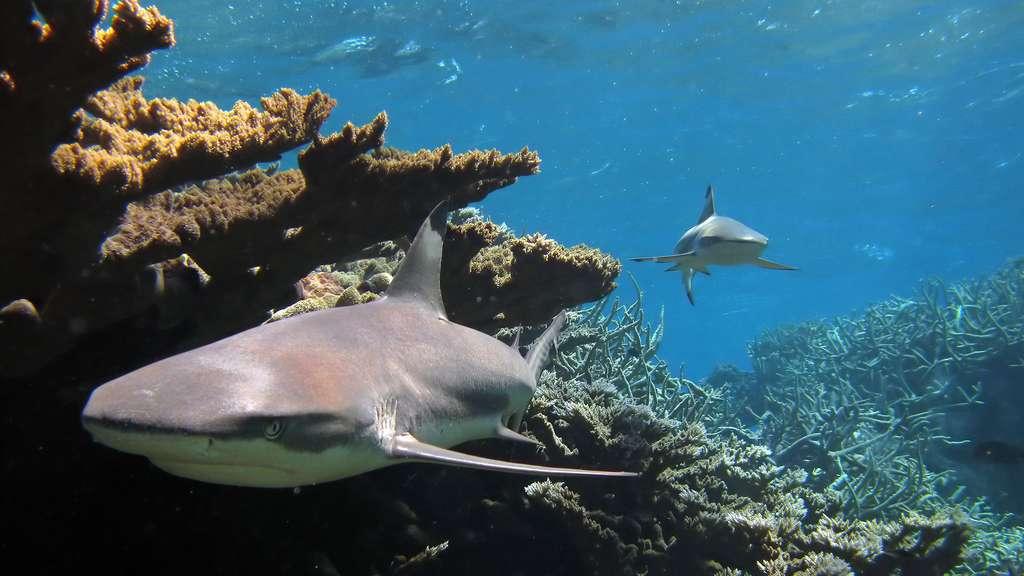 Le requin à pointes noires en Indo-Pacifique