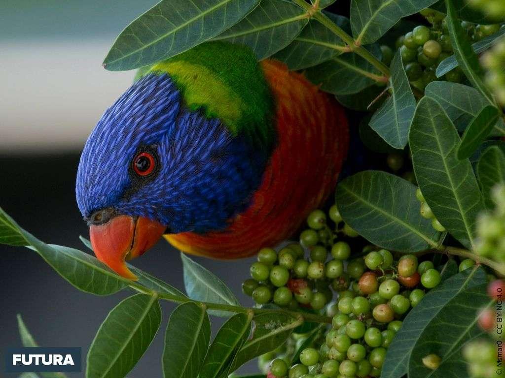 Le Loriquet à tête bleue est doté d'une langue en forme de pinceau pour aspirer le nectar des fleurs.
