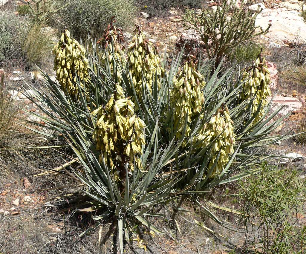 Yucca baccata. © Stan Shebs - cc by nc 3.0