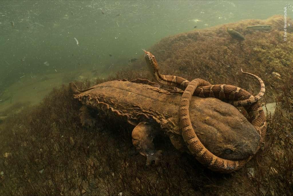 Il est rare de voir une salamandre de Hellbender, espèce menacée de disparition, s'en prendre à un animal aussi grand que ce serpent. © David Herasimtschuk