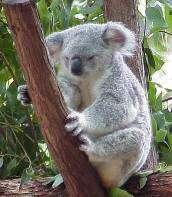 Le KoRV, un rétrovirus qui touche les koalas est en train de passer de la forme infectieuse à la forme endogène