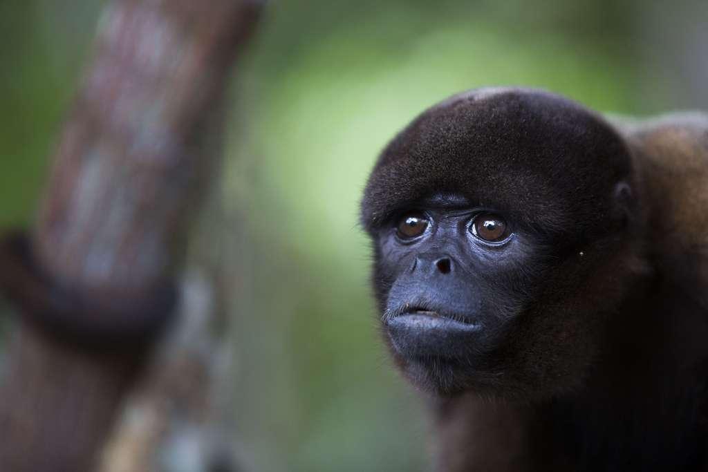 Le singe laineux ou Lagothrix, au pelage doux