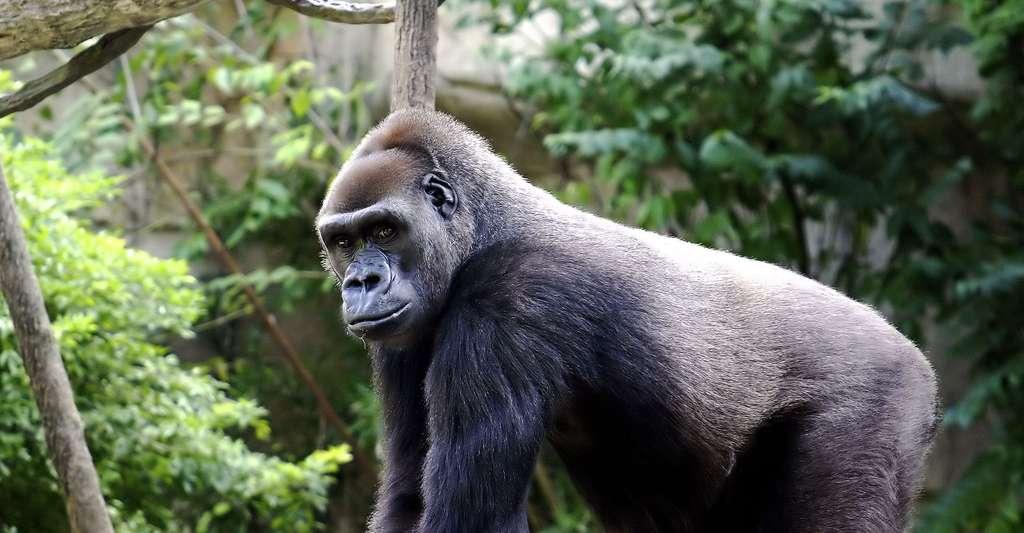 Le gorille, un imposant grand singe. © Kabir Bakie, Wikimedia commons, CC by-sa 2.5