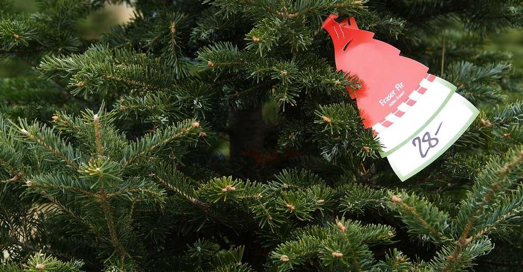 En Amérique du Nord, malgré le soin que demande sa culture, le sapin de Fraser (vert foncé, parfumé, forme équilibrée, bonne conservation des aiguilles) est l'une des espèces les plus cultivées comme arbre de Noël. © sparkia, Fotolia