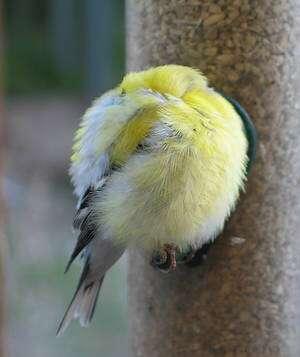 Avec BirdsEye, traquer les boules de plumes ! © looseends CC by-nc-sa