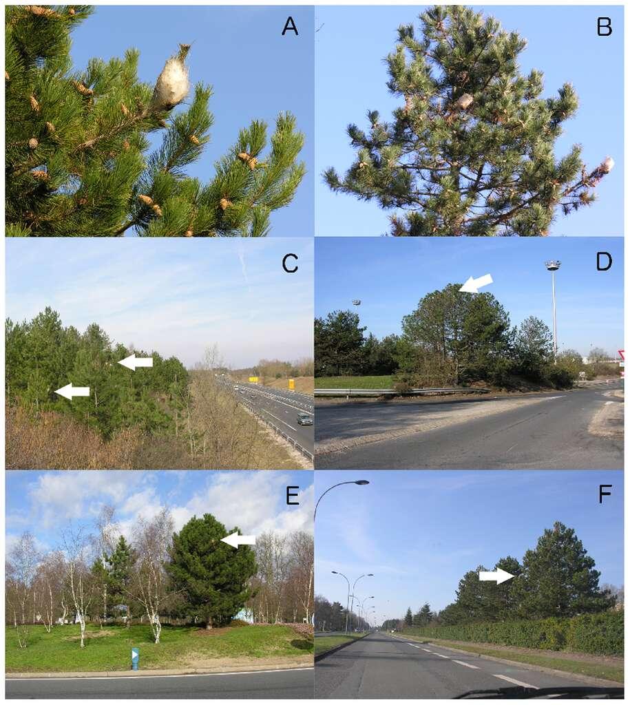 A : nid de soie de chenilles processionnaires. B : arbre hôte infesté par plusieurs colonies. C à E : les arbres infestés situés le long des voies de circulation. F : photo prise à l'intérieur d'une voiture, montrant un arbre touché. Tous les arbres hôtes sont des pins noirs (Pinus nigra), sauf dans le cas C où l'on voit des pins noirs et sylvestres (P. sylvestris). © Jérôme Rousselet et al., Plos One