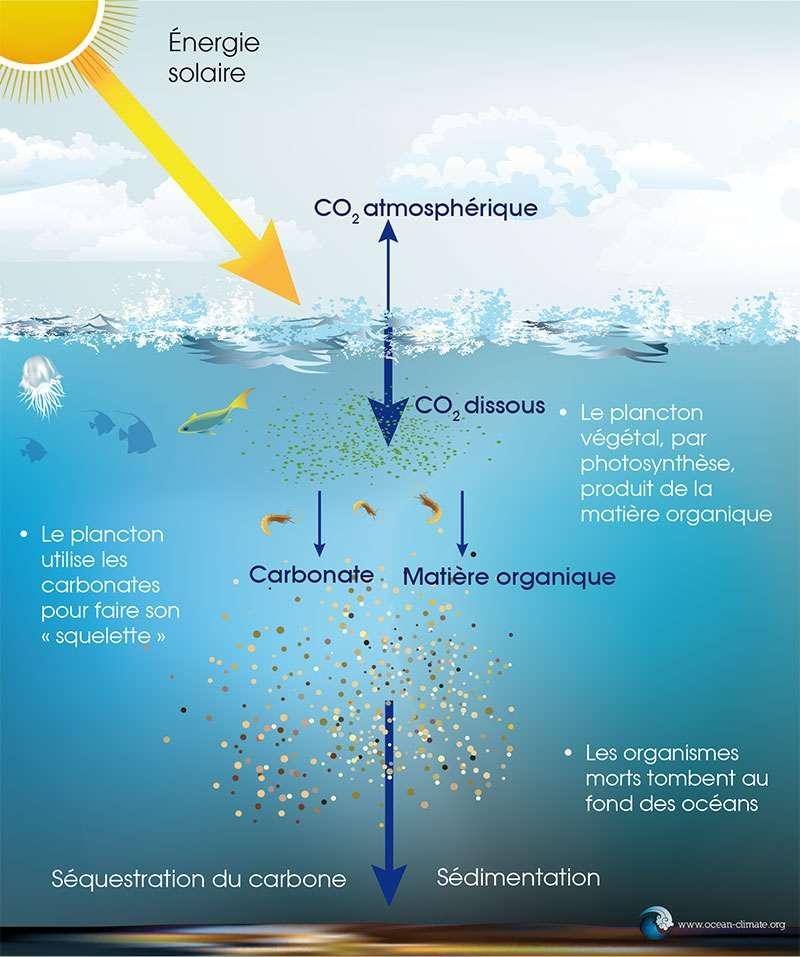 Le mécanisme de la pompe à carbone biologique : quand les micro-organismes du phytoplancton, comme les diatomées, meurent, ils tombent vers le fond, contribuant ainsi au stockage du CO2 dans les sédiments au fond de l'océan. © ocean-climate.org