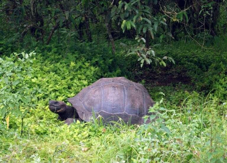Une tortue géante dans le Parc national des Galapagos en août 2015. © HO, DPNG, AFP