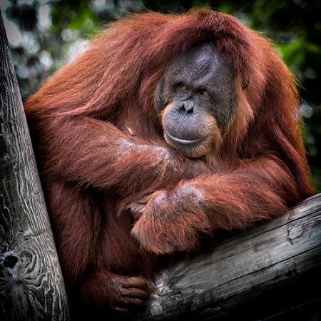 Les orangs-outans de Bornéo, Pongo pygmaeus de leur nom latin, sont endémiques à l'île. © PxHere