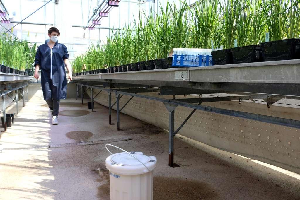 Dans une des serres du Cirad, Aurore Vernet récolte des échantillons de feuille pour une autre équipe. Elle travaille exclusivement sur le riz, mais pour plusieurs projets de recherche. En l'occurrence, les prélèvements effectués sont stockés dans de l'azote liquide – le bidon blanc – pour être analysés ultérieurement. © Eléonore Solé