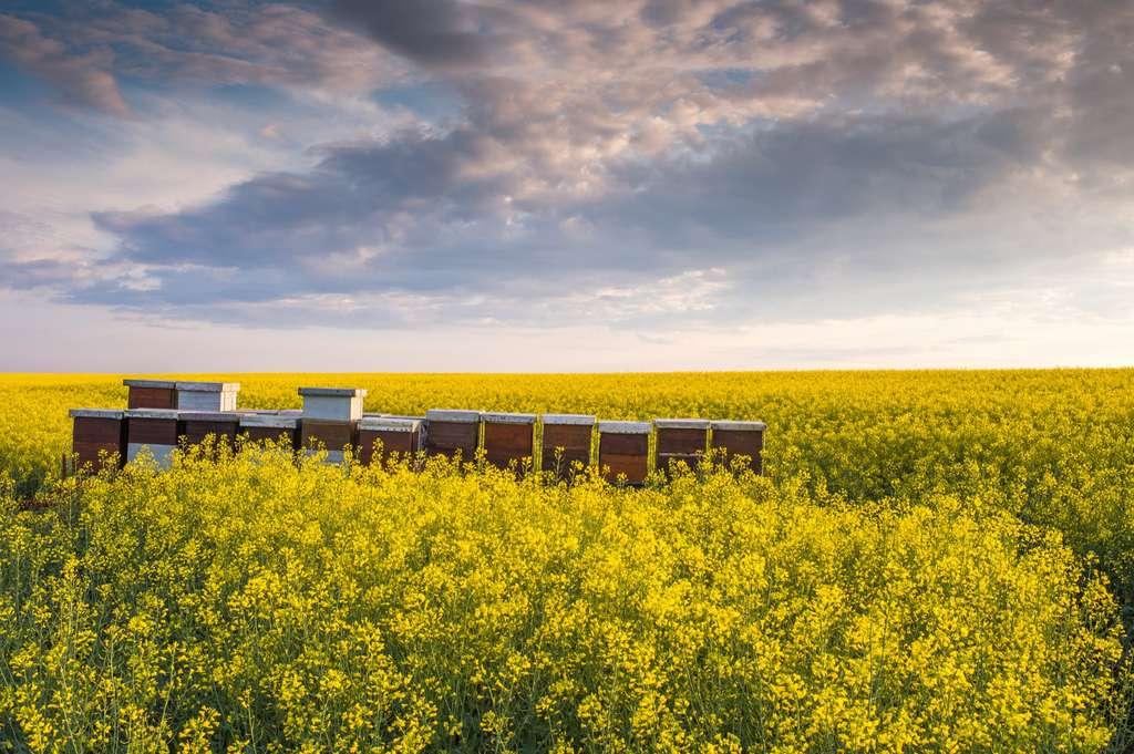 Selon la nature du sol et de l'infiltration des eaux de pluie, ces résidus d'insecticides continuent d'agir, alors même que ces produits, interdits depuis 2013, ne sont plus utilisés. Ici, un champ de colza en fleur. © Dusan Kostic, Adobe Stock