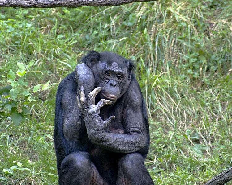 Les mâles accrochés aux jupons de leur mère ont étonnamment beaucoup de succès auprès des jeunes femelles bonobos. © Wikimedia Commons