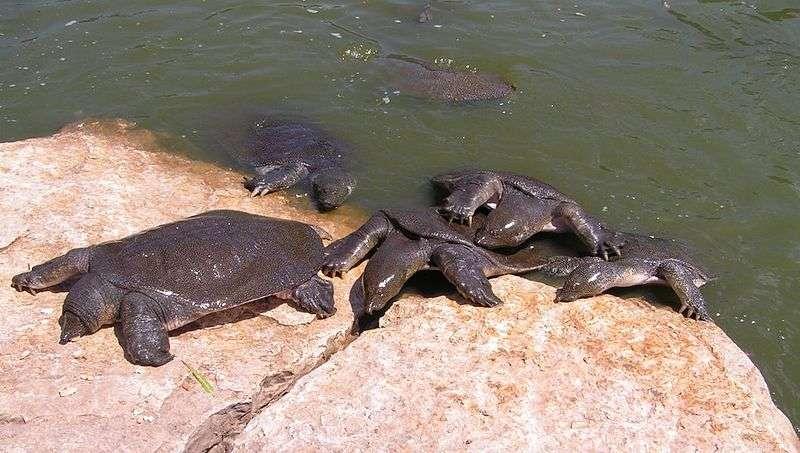 Un groupe de tortues à carapace molle. © Lena Levin, Wikipédia, GNU 1.2