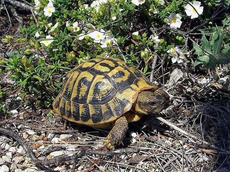 Tortue d'Hermann. On trouve cette espèce dans le centre du Var, ainsi qu'en Corse. © Orchi, Wikipédia, GNU 1.2