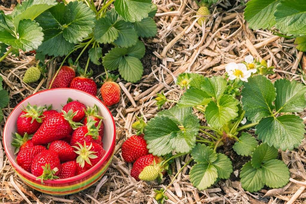 Une belle et abondante récolte se prépare facilement en suivant quelques précautions. © Patrick Stedrak, Fotolia