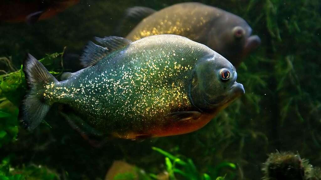 Le piranha rouge, la terreur des rivières amazoniennes