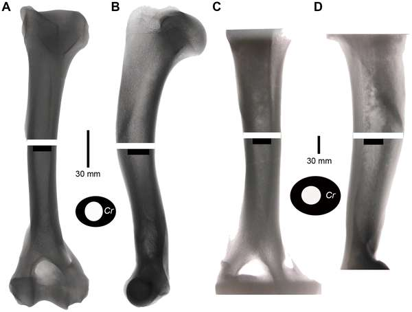 Des humérus de jaguar, à gauche (A et B), et de tigre à dents de sabre, à droite (C et D) ont été comparés par analyse aux rayons X. Ceux du smilodon ont un diamètre et une épaisseur d'os plus élevés, synonymes d'une résistance accrue. © Université de Californie / Plos One