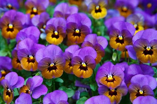 Les pensées aux sublimes couleurs variées. © Publicdomainepicture, Pixabay, DP