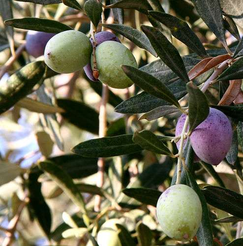 Olives. © Nickfraser GNU Free Documentation License version 1.2