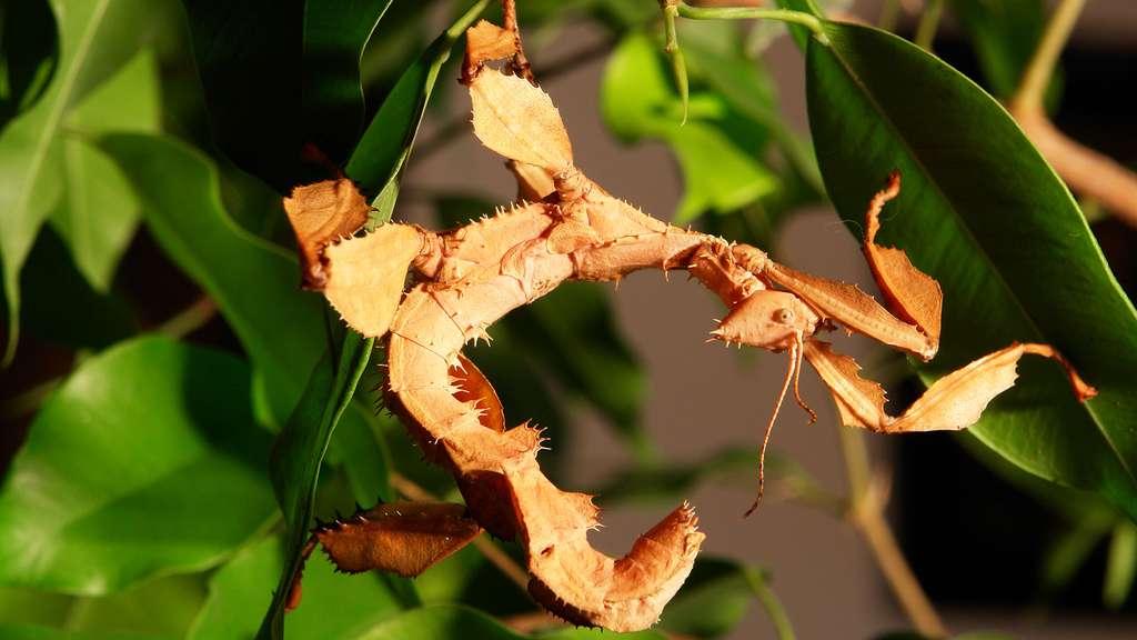 Un phasme d'Australie, Extatosoma tiaratum