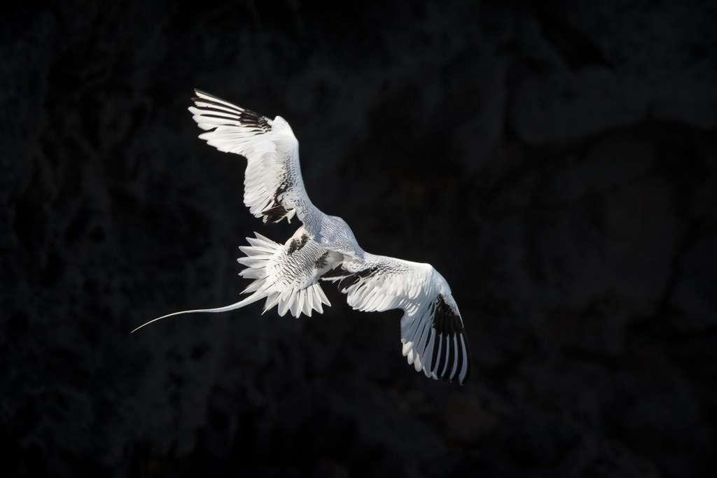 Le vol magnifique et gracile du Phaéton à bec rouge (Phaethon aethereus). © Maxime Aliaga, tous droits réservés