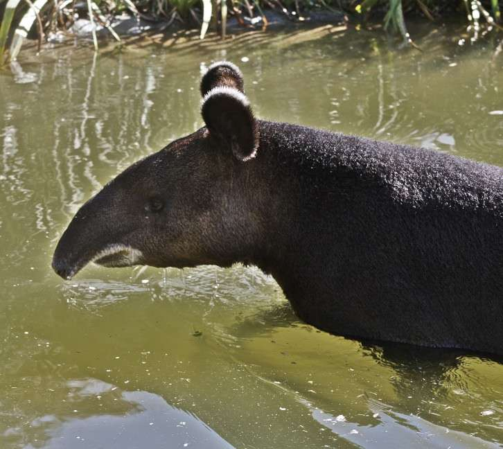 Tapir de montagne au bain. © Flickr, Just chaos, cc by 2.0