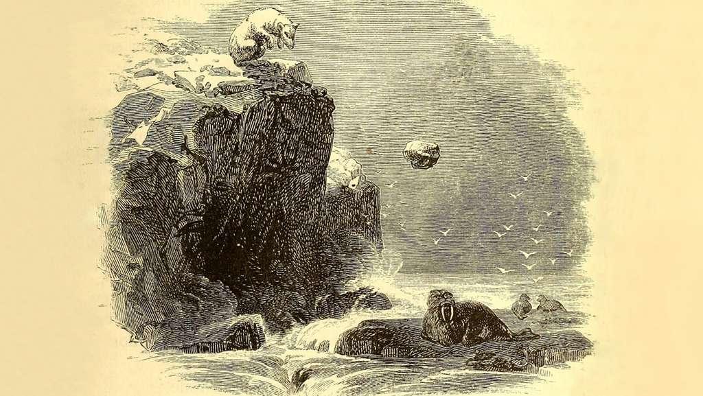 Illustration par Charles Francis Hall, en 1865, d'un ours polaire utilisant un outil pour chasser le morse. © Charles Francis, Hall Library of Congress