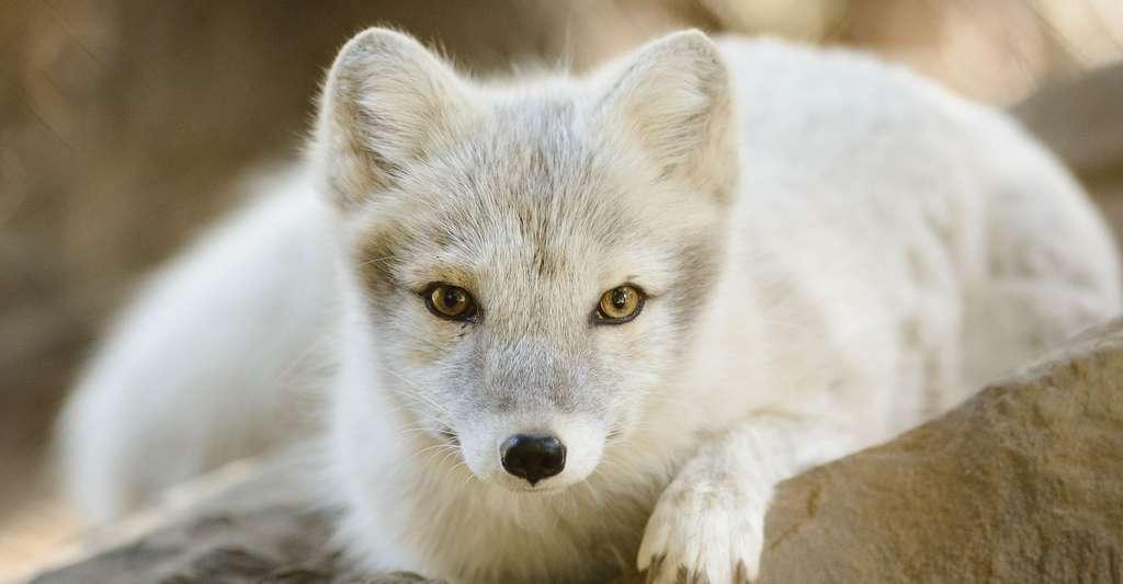 Le renard polaire a été introduit pour sa fourrure.© Eric Kilby, CC by-sa 2.0