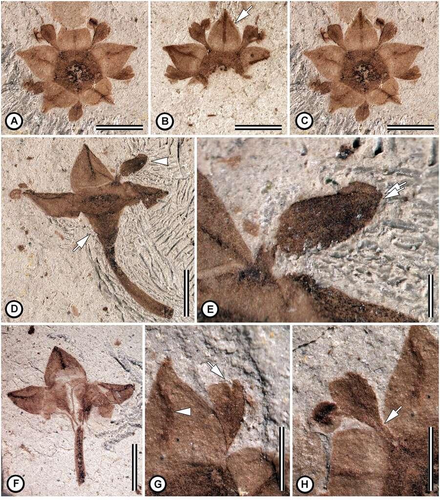 Détails des différentes fleurs fossilisées. Ce sont des rhamnacées. Les barres d'échelle donnent les dimensions : A à D et F : 2 mm ; E : 0,5 mm ; G et H : 1 mm. © Nathan A. Jud, Maria A. Gandolfo, Ari Iglesias, Peter Wilf, Plos One