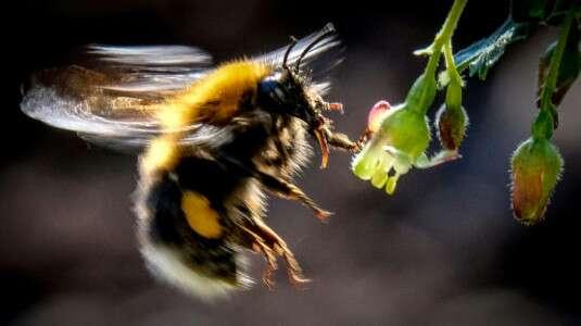 Les bourdons, actifs pollinisateurs, seraient affectés par la sulfoximine, censée pouvoir remplacer les néonicotinoïdes. © Yuri Kadodobnov, AFP