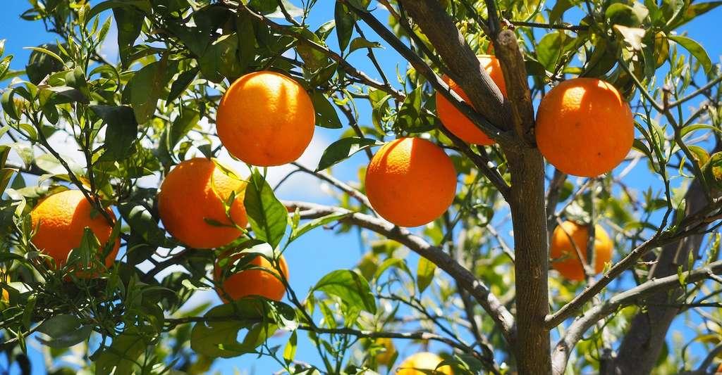 Les arbres fruitiers sont des angiospermes. © Hans, Pixabay, DP