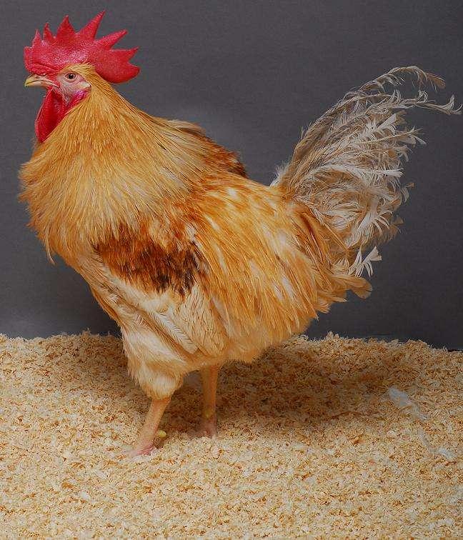 Les poulets OGM seront-ils appréciés des consommateurs ? © Université d'Edimbourg