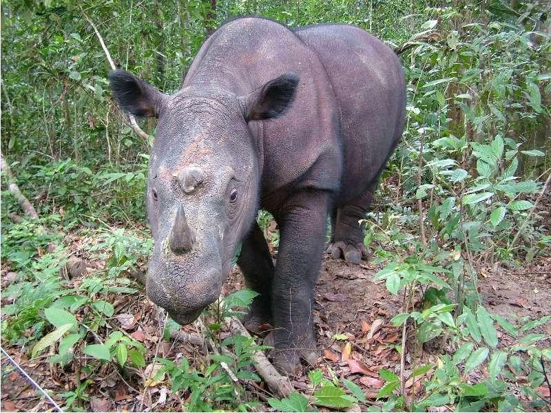 Chassé pour ses cornes, le rhinocéros de Sumatra serait en voie d'extinction. Il n'existerait plus que 250 individus adultes. © Save the Rhino International