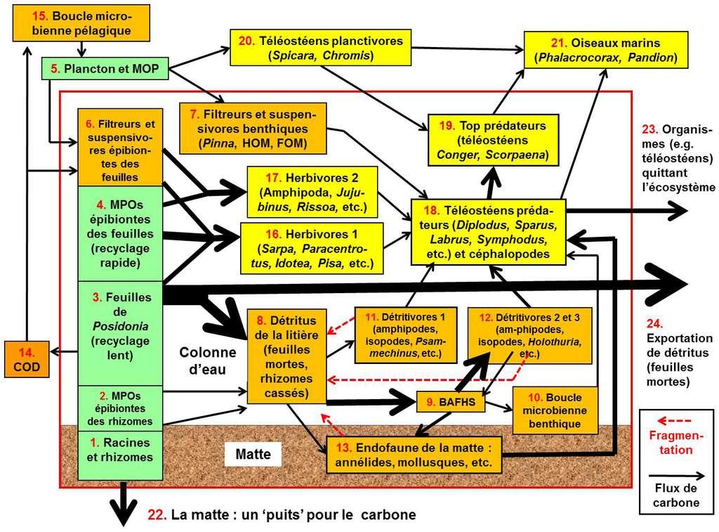 Figure 5.1. Modèle conceptuel du fonctionnement de l'écosystème posidonie. Chaque « boîte » (numérotée de 1 à 24) correspond à un compartiment fonctionnel. L'épaisseur des flèches correspond à l'importance du flux de carbone entre compartiments. Le rectangle rouge correspond à l'écosystème posidonie proprement dit ; ce qui lui est extérieur correspond à des compartiments d'autres écosystèmes, avec lesquels l'herbier de posidonie interagit (exportation ou importation). En vert, les compartiments producteurs primaires (grâce à la photosynthèse). En ocre : les détritus et les consommateurs de détritus. En jaune : les herbivores et les prédateurs. COD pour Carbone Organique Dissous. MOP, Matière Organique Particulaire. MPOs, Organismes photosynthétiques pluricellulaires (en particulier « macroalgues »). Et BAFSH pour Bactéries, Archées, Fungi et Straménopiles Hétérotrophes. © Charles-François Boudouresque, adapté de Boudouresque in Personnic et al. (2014). Tous droits réservés - Reproduction interdite