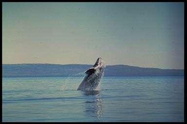 Baleine grise sautant hors de l'eau. © NOAA, domaine public