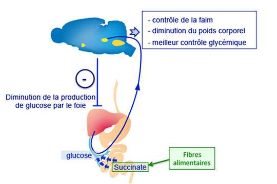 Schéma résumant les effets anti-obésité et anti-diabète du succinate produit par le microbiote intestinal à partir des fibres alimentaires. © Gilles Mithieux