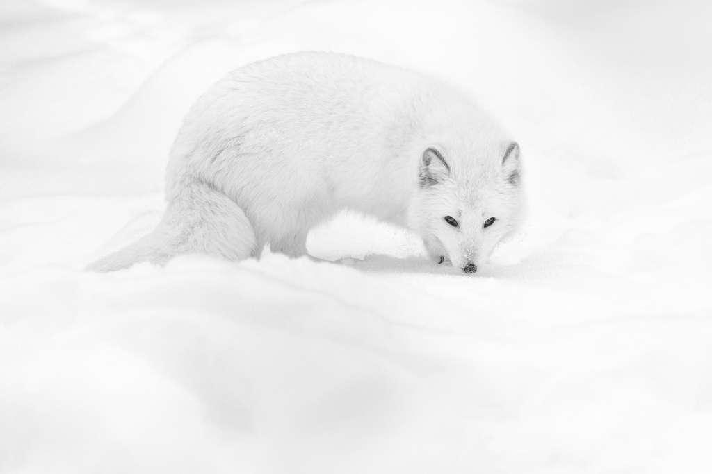 Un renard arctique à la fourrure immaculée