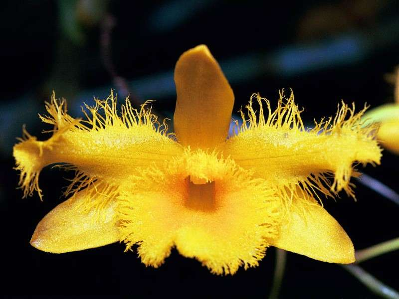 Dendrobium Harveyanum, orchidée asiatique