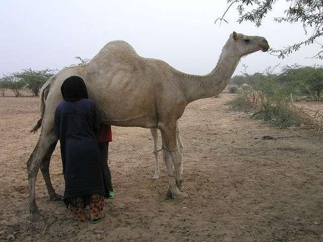 Traite d'une chamelle au Niger. © IECA Cheung, Wikipédia, cc by sa 2.0