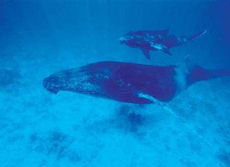 Des programmes d'écotourisme sont organisés par l'association Megaptera pour que les touristes puissent observes les baleines à bosse tout en contribuant à leur protection. © Alexis Rosenfeld Reproduction interdite