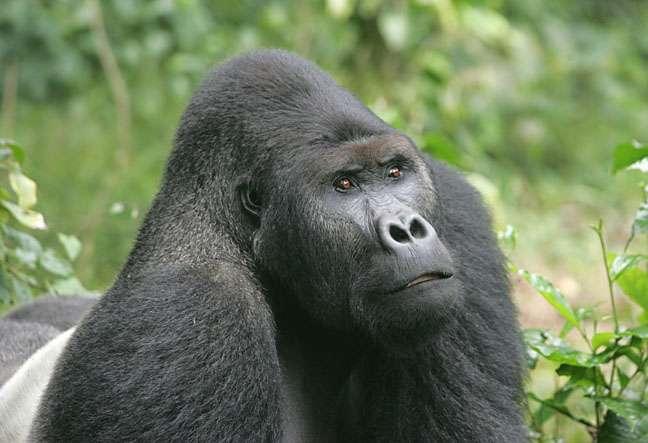 Gorille des plaines de l'Est (Gorilla beringei graueri). Mâle adulte (dos argenté). © Graueri Gorilla, wikimedia commons, CC 1.2