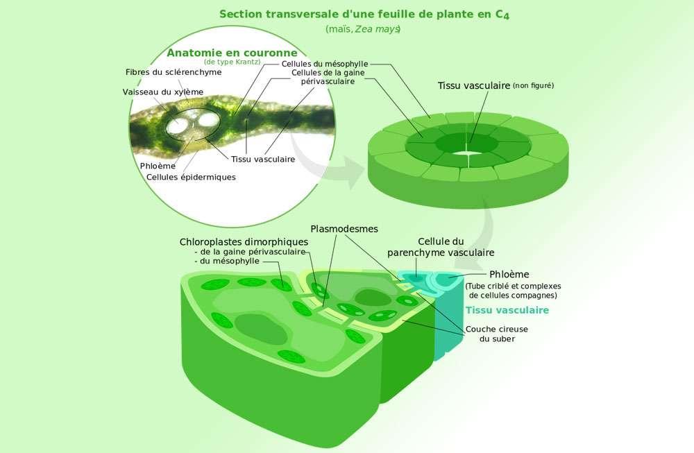 Mécanisme des plantes en C4. © Spedona, CC by-sa 3.0
